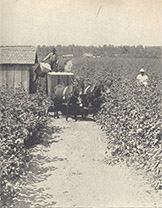 Taking Cotton to the Gin